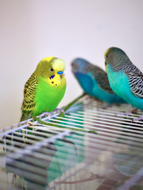 Eight Reasons to Have a Pet Budgie   The Voice